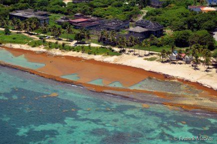 Échouage massif de sargasses en Guadeloupe en 2015 (photo Franck Mazeas)